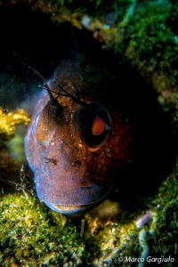 African Blenny- black fase.  Parablennius pilicornis by Marco Gargiulo 